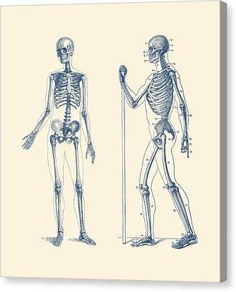 Walking Skeleton - Simple Dual-view - Vintage Anatomy Print Canvas Print