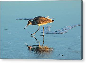 Walking Willet Canvas Print by Rosanne Jordan