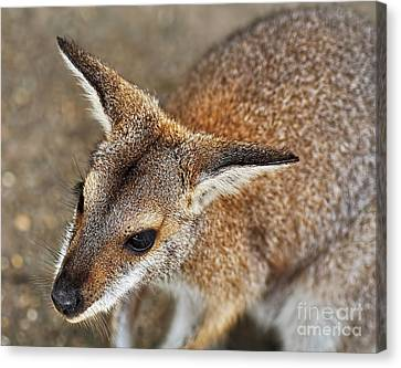 Wallaby Portrait Canvas Print by Kaye Menner