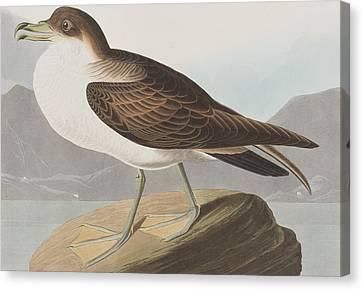 Wandering Canvas Print - Wandering Shearwater by John James Audubon