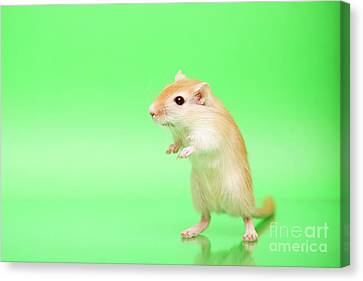 Gerbil Canvas Print - Warm And Cute 3 by Svetlana Svetlanistaya