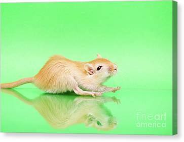 Gerbil Canvas Print - Warm And Cute 4 by Svetlana Svetlanistaya