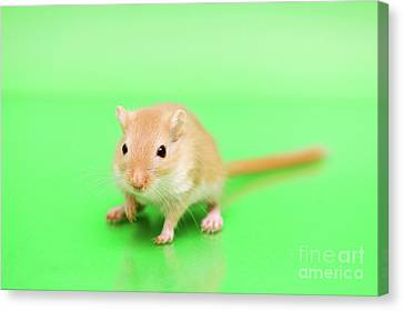 Gerbil Canvas Print - Warm And Cute by Svetlana Svetlanistaya