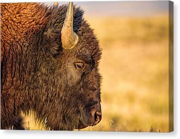 Warm Bison Canvas Print