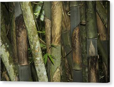 Bamboo House Canvas Print - Warrior's Garden by Damian Morphou