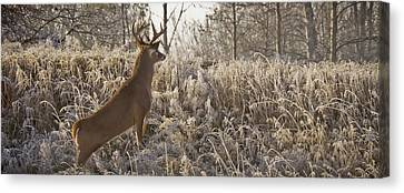 Wary Buck Canvas Print by Albert Seger