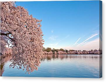 Washington Dc Cherry Blossoms Canvas Print