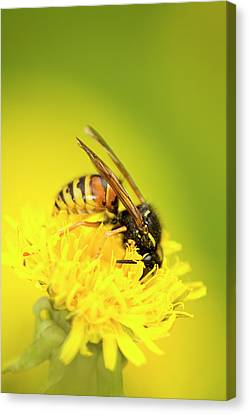 Wasp Canvas Print by Jouko Mikkola