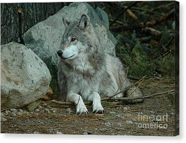 Watchful Wolf Canvas Print