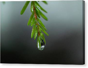 Water Drop Dripping From Pine Needles Canvas Print
