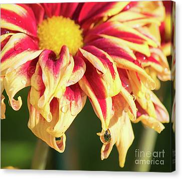 Water Drop On A Chrysanthemum Canvas Print