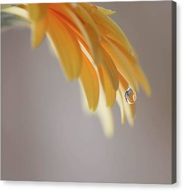 Water Drop On A Daisy Canvas Print