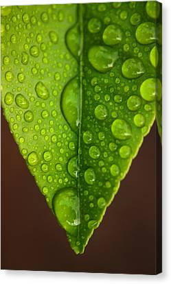 Water Droplets On Lemon Leaf Canvas Print by Ralph A  Ledergerber-Photography