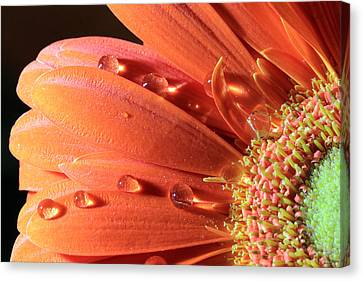 Water Drops On Colorful Flower Petals Canvas Print