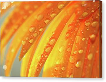 Water Drops On Daisy Petals Canvas Print by Daphne Sampson