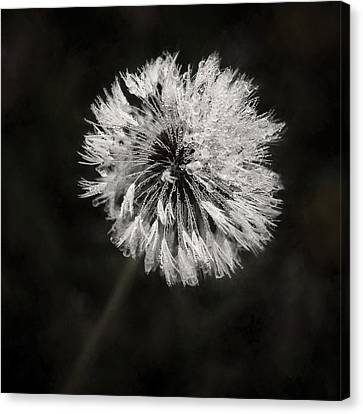 Water Drops On Dandelion Flower Canvas Print