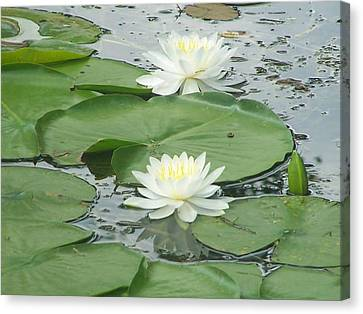 Water Lilies At Conesus Lake Canvas Print by Charlotte Gray