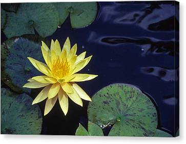 Water Lilly - 1 Canvas Print by Randy Muir