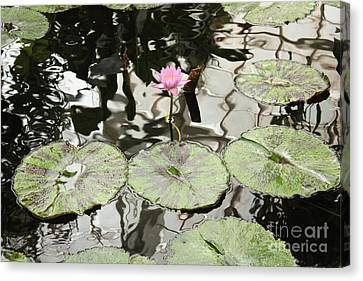 Water Lily Canvas Canvas Print by Carol Groenen
