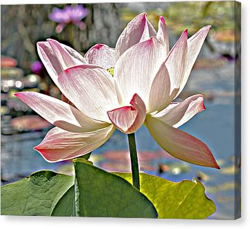 Water Lily Canvas Print by Catherine Alfidi