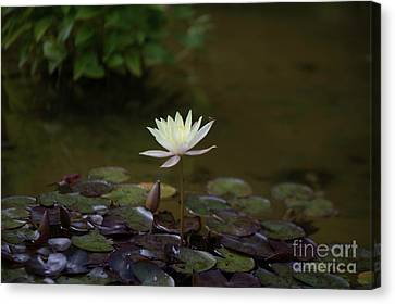 Water Lily Collection  Canvas Print