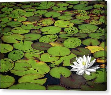Water Lily Canvas Print by Elisabeth Van Eyken