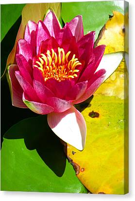 Water Lily Fc 2 Canvas Print by Diana Douglass