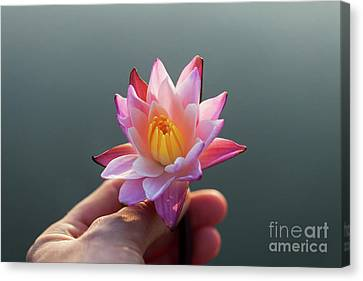 Water Lily Flower In Woman Hands Canvas Print by Alim Yakubov