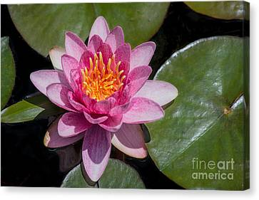 Crimson Lilies Canvas Print - Water Lily Gloriosa  by Fiona Craig