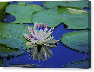 Water Lily  Canvas Print by Karol Livote