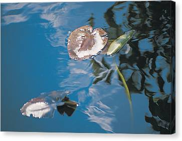 Water Lily Leaves And Reflection Of Clouds In Unknown Lake Canvas Print by Australian School
