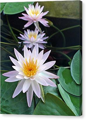 Canvas Print featuring the photograph Water Lily Line by Farol Tomson