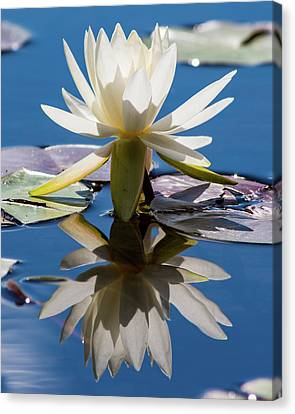 Water Lily Canvas Print by Mary Hone