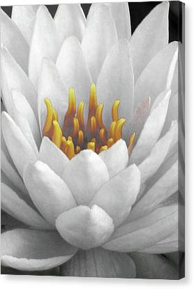 Water Lily - Mellow Yellow Canvas Print