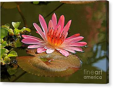 Canvas Print featuring the photograph Water Lily by Nicola Fiscarelli