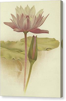 In Bloom Canvas Print - Water Lily  Nymphaea Zanzibarensis by English School