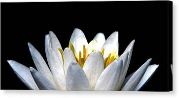 Water Lily Petals Canvas Print by Angela Davies