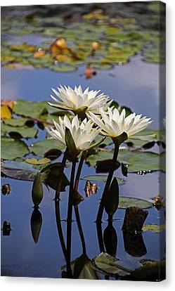 Water Lily Reflections Canvas Print