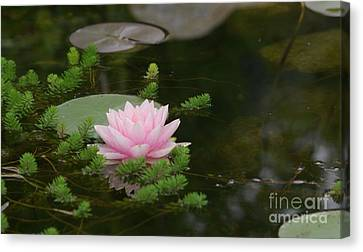 Water Lily Canvas Print by Victor K