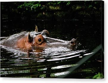 Water Pig Canvas Print