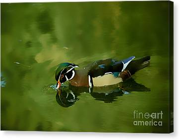 Male Wood Duck Water Reflections Canvas Print by Claudia Ellis