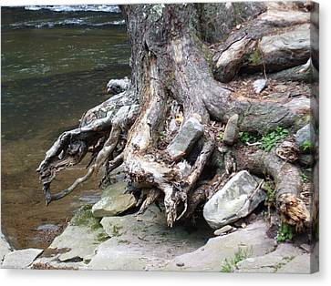 Water Tree Roots Canvas Print by Carla Russell