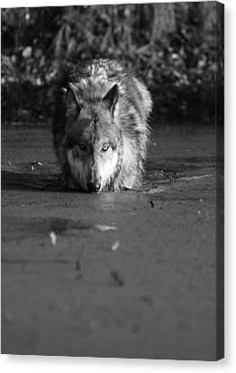 Canvas Print featuring the photograph Water Wolf I by Shari Jardina