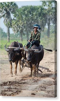 Waterbuffalo Driver Returns With His Animals At Day's End Canvas Print
