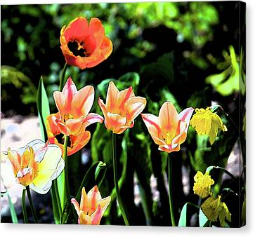Canvas Print featuring the photograph Watercolor Tulips by Sheryl Thomas