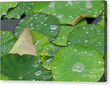 Waterdrops On Lotus Leaves Canvas Print by Silke Magino