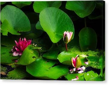 Waterlilies In The Rain Canvas Print