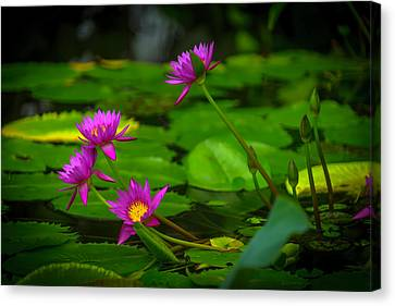 Waterlily Blossoms Canvas Print by Garry Gay
