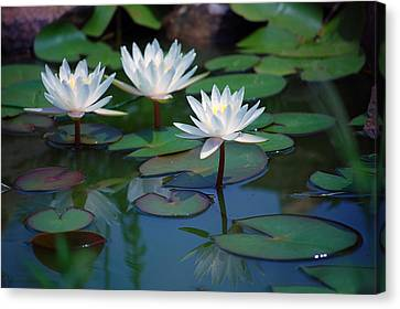 Waterlilys Canvas Print by Robert Meanor
