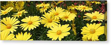 Waves Of Yellow Daisies Canvas Print